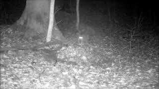 European wildcat chasing European badger from a roe deer carcass