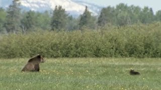 Yellowstone grizzly bears highlight success of Endangered Species Act