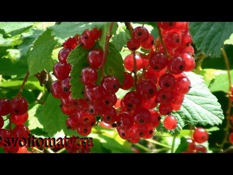 Красная смородина – полезные свойства