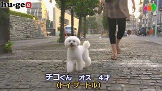 【きょうのわんこ】チコくんが散歩の後半になるとするちょっと変わった行動とは?
