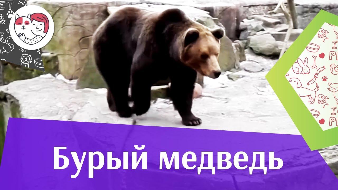 Бурый медведь воспитание потомства на ilikepet