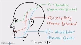 Anatomy - Cranial Nerves and Their Sensory Distribution