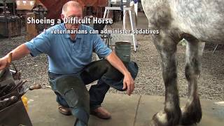 Shoeing A Draft Horse - Tips And Techniques Part 1 (Front Hoof Trimming)