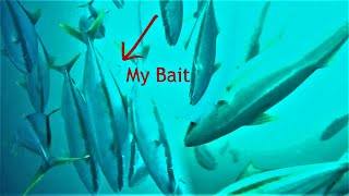 *Shocking Underwater Footage* Had NO IDEA these fish (Yellowtail) were here!!!