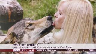 Wolf Escapes from UK Sanctuary