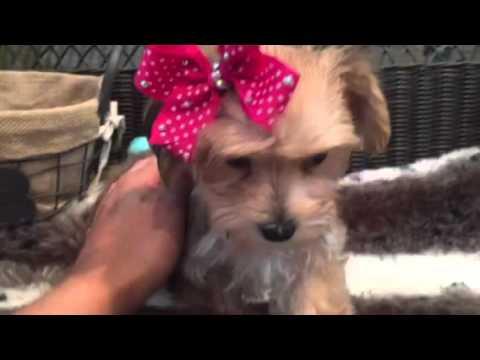 Such a cutie Morkie Female puppy!