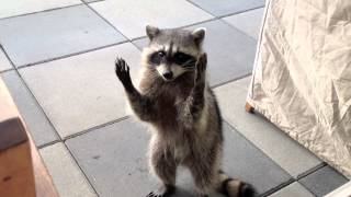 Raccoon Trick - Clapping (Boyd)