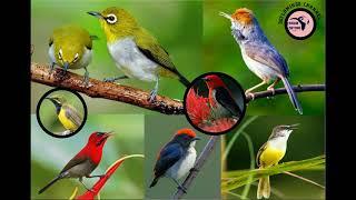 Suara Pikat Semua Burung Kecil (mp3 Pikat Burung Kecil)