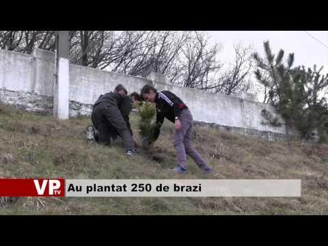 Au plantat 250 de brazi
