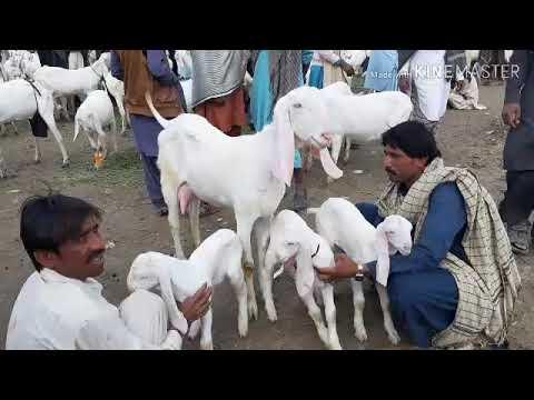 112 | Bakra Mandi 2018/2019 | Dera Ghazi Khan Mandi | Rajan