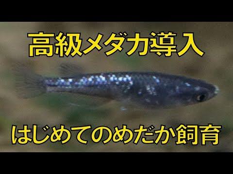 【アクアリウム熱帯魚水槽】高級メダカ導入します!初めてのめだか飼育