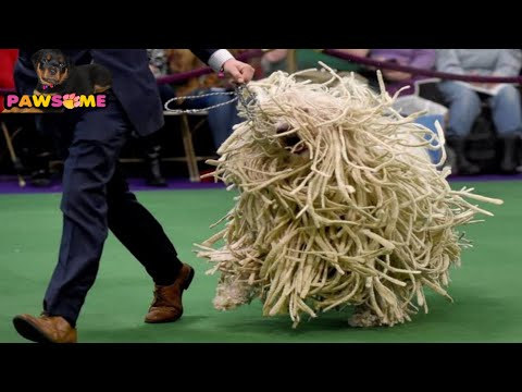 DOG SHOW AT KOLKATA 2018-19 BY CALCUTTA CANINE CLUB PART 2