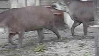 「上野動物園バクその2」