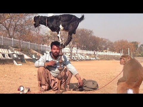 Bandar Aur Bakri Ka Khel - Funny Video | Comedy Video From My Phone