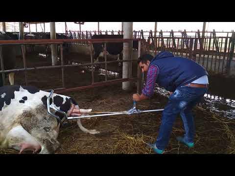 Dụng cụ trợ sản cho bò