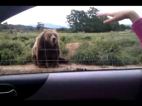 Snakk om høflig bjørn!