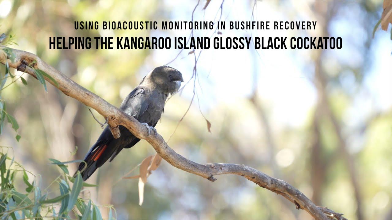 Bio-acoustic monitoring in bushfire recovery, helping the Kangaroo Island glossy black cockatoo
