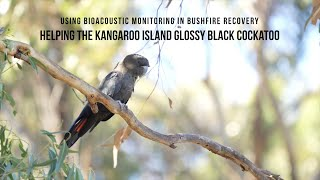 Bio-acoustic monitoring in bushfire recovery, helping the Kangaroo Island glossy black cockatoo