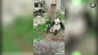 Видео с реальным Кунг-фу Пандой