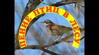 Пение птицпение птиц в лесузвуки природы