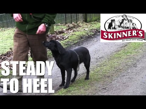 Gundog training tips – Steady to heel