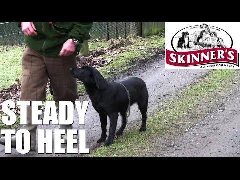 Gundog training tips – Steady to heel