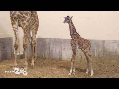 New Giraffe Calf