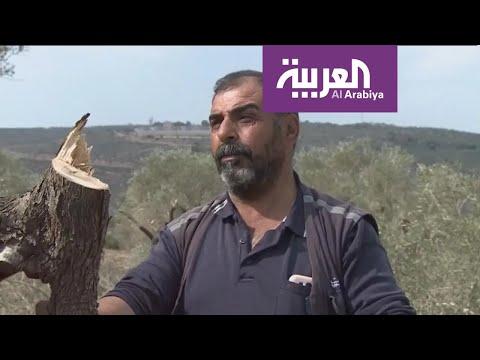 العرب اليوم - شاهد: قطعان المستوطنين تقطع أشجار الزيتون في نابلس