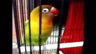 LoveBird Ngekek Panjang Bertempo Lambat ! Masteran Dan Pemancing Love Bird