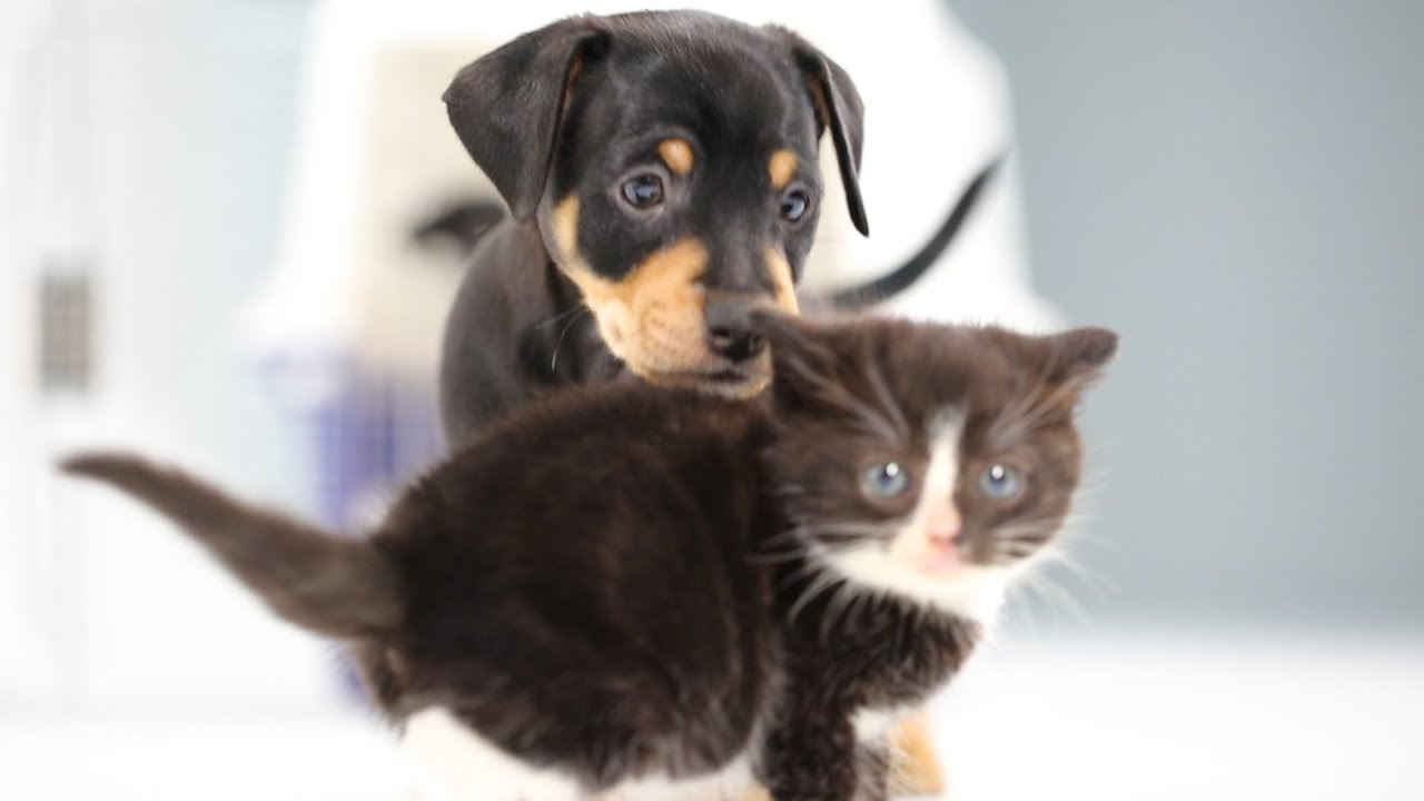 Kittens Meet Puppies For The First Time thumbnail