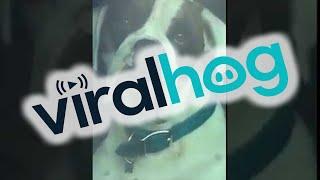 Impatient Dog Honks Horn for Owner