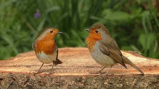 Videos for Cats to Watch Birds : The Woodland Bird Table - 8 HOURS