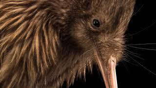 RARE | Extrait : Le Kiwi, Loiseau Qui Ne Vole Pas