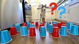 How Smart is My Husky? - Intelligence Test!