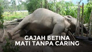 Gajah Betina Tak Bernyawa, Caringnya pun Sudah Dicabut