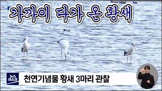 만경강 찾은 천연기념물 황새