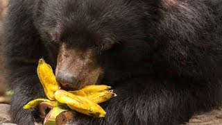 Sun Bear Eating Banana !