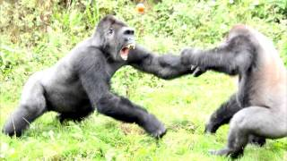 How Do Gorillas Get Enough Protein To Carry So Much Muscle?