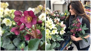Planting Hellebores // Garden Answer