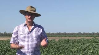 Using Harvest Aids In Cotton