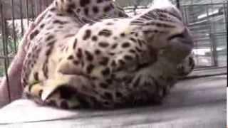 Леопард ласковый, если его погладить