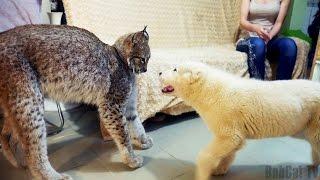 РЕАКЦИЯ РЫСИ ХАННЫ НА ЩЕНКА ОВЧАРКИ. Встреча большой кошки с Тайпаном