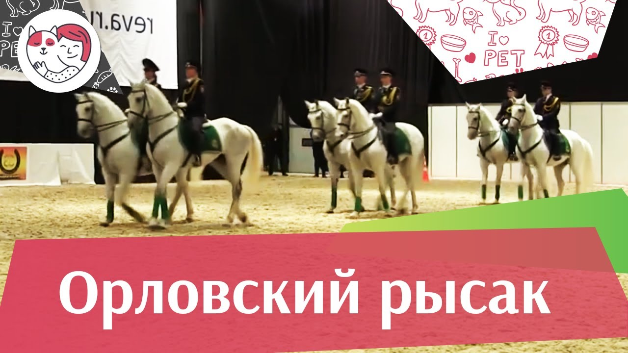 Фестиваль орловского рысака на ЭКВИРОС 2016 iLikePet