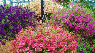 How to plant Million Bells: Jeff Turner plants Million Bells surfinia hanging baskets