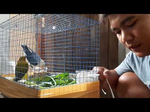 mp4 Lovebird Biola X Euwing, download Lovebird Biola X Euwing video klip Lovebird Biola X Euwing