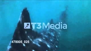 泳ぐジンベエザメルソン島、フィリピン/SwimmingWhaleSharkinLuzonIsland,Phillipines