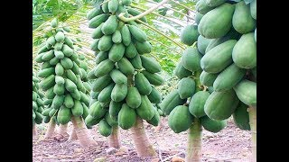 HOW TO GROW RED LADY PAPAYA IN CONTAINER/POT - BEST SOIL MEDIUM/CARE & POTTING OF RED LADY PAPAYA