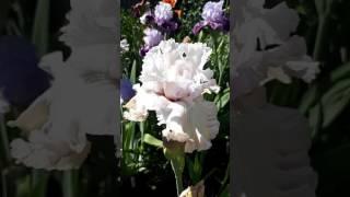 Ирис Venetian Glass от компании Рай цветов - видео