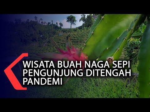 wisata buah naga sepi pengunjung ditengah pandemi