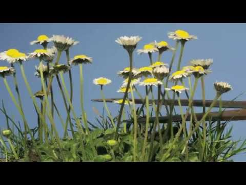 These Blooming Daisies Are So Cute They Almost Look Like An Animation